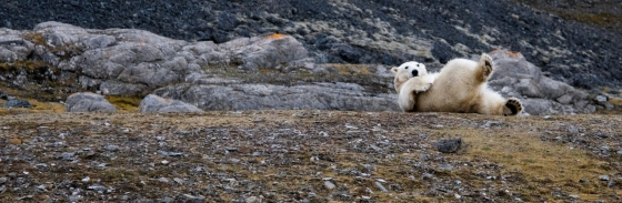 See Polar Bears in Churchill Canada