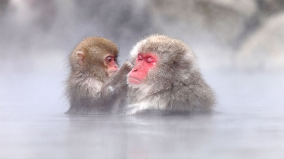 Watch Jigokudani's snow monkeys