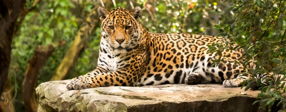 The best place in Bolivia to spot a jaguar